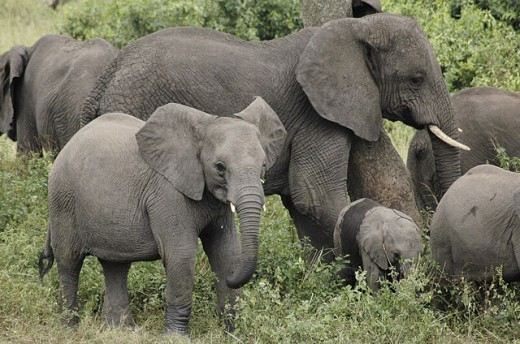 Stock Photo: 1436R-249113 African Elephants (Loxodonta africana). Masai Mara, Kenya