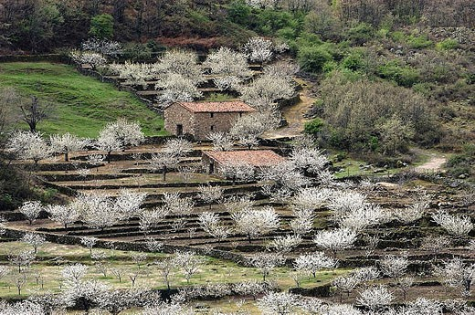 Cherry trees in full blossom. Jerte Valley, Cáceres province, Extremadura, Spain : Stock Photo