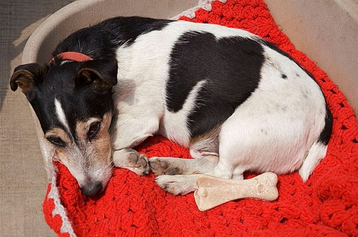 Jack russell fox terrier on a red red blanket looking bored : Stock Photo