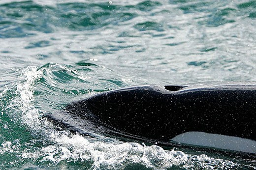 A pod of four Orcas (Orcinus orca) - also called Killer Whales - traveling from Admiralty Island to Douglass Island via Shelter Island and Favorite Channel, Southeast Alaska, USA. Pacific Ocean. A single animal surfacing. : Stock Photo