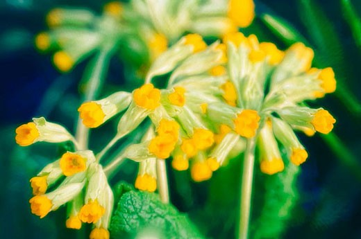Cowslip, primrose. Primula veris. April 2006. Maryland, USA : Stock Photo