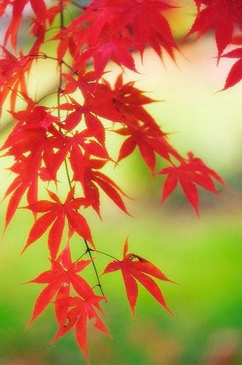 Stock Photo: 1436R-265458 Japanese Maple. Acer palmatum. November 2006. Maryland, USA