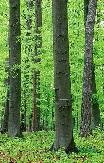 Beech tree forest in spring. Bavaria, Germany : Stock Photo