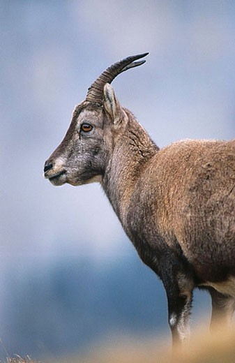 Rock Goat (Capra ibex), Swiss Alps : Stock Photo