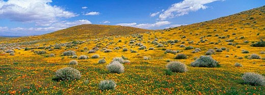 Wild flower meadow with California poppies. Antelope Valley, California, USA : Stock Photo