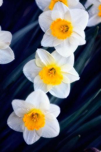 Stock Photo: 1436R-268763 Daffodil Flower Trio. (Narcissus hybrid) 2006. Maryland, USA.