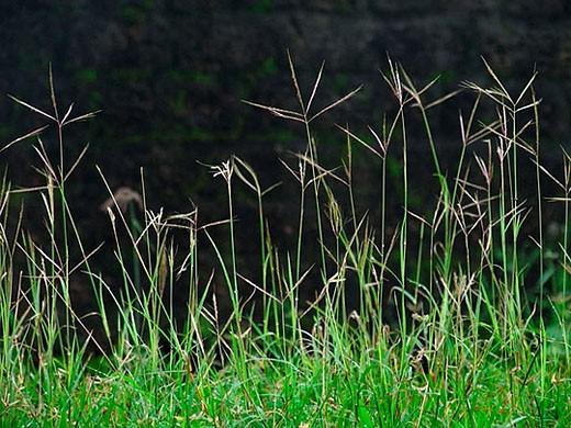 Cynodon dactylon L  Pers  - Bremuda grass at St  Angelo fort  Kannur, Kerala, India : Stock Photo