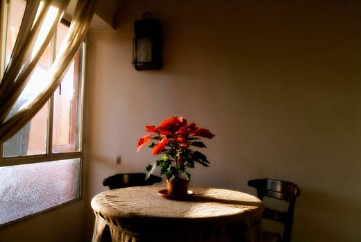 Poinsettia plant (Euphorbia pulcherrima) inside home. This plant is known with other several names: Mexican flame leaf, Christmas Star, Winter rose, Noche Buena, Ataturk´s flower (in Turkey) and Pascua. : Stock Photo