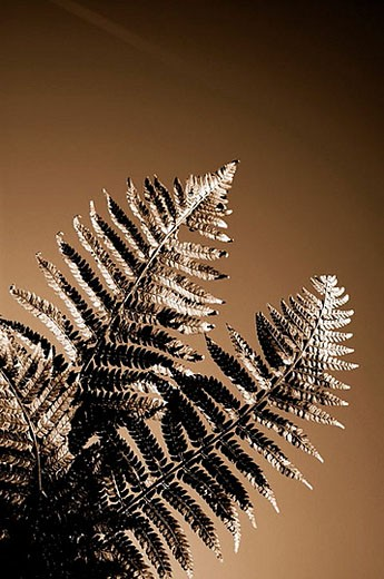 Stock Photo: 1436R-277751 Fern