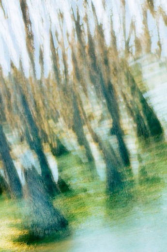 Cypress Swamp. March 2007, Maryland, USA : Stock Photo