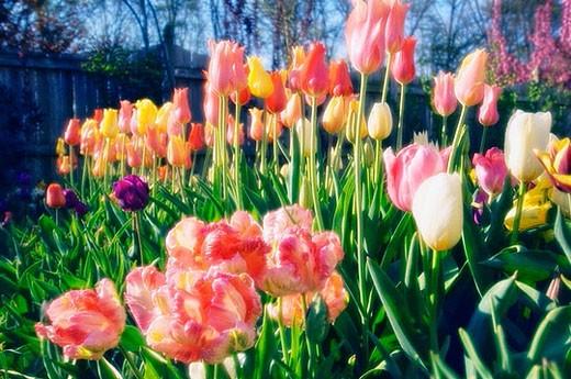 Stock Photo: 1436R-278076 Mixed tulips. Tulipa hybrid. April 2007, Maryland, USA