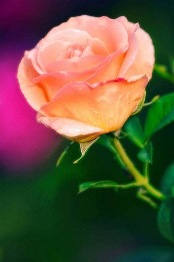 Rose Flower. Rosa hybrid. June 2005, Maryland, USA : Stock Photo