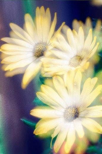 Stock Photo: 1436R-280303 Yellow African Daisy. Dimorphotheca barberiae. June 2005, Maryland, USA
