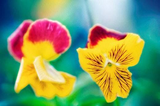 Stock Photo: 1436R-280794 Pansies. Viola x wittrockiana. July 2006, Maryland, USA