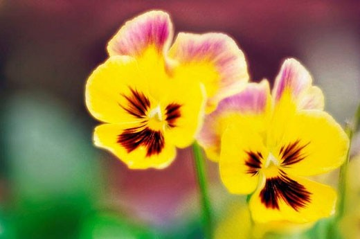 Pansy Flowers. Viola x wittrockiana.May 2006, Maryland, USA : Stock Photo