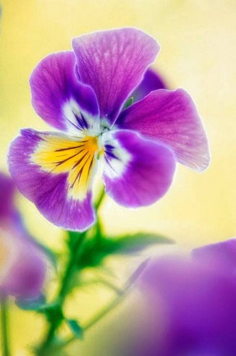 Pansy. Viola x wittrockiana. May 2007, Maryland, USA : Stock Photo