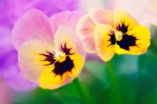 Two Pansy Flowers. Viola x wittrockiana. May 2007, Maryland, USA : Stock Photo