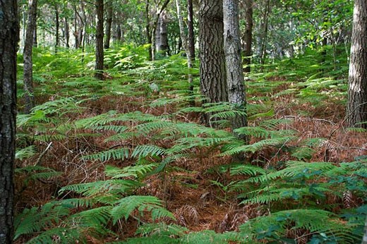 Pinewood and ferns : Stock Photo