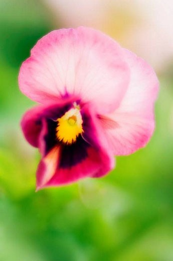 Pansy Bloom. Viola x wittrockiana. June 2006, Maryland, USA : Stock Photo