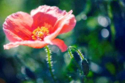 Red Poppy and a Bud. Papaver rhoeas. June 2007, Maryland, USA : Stock Photo