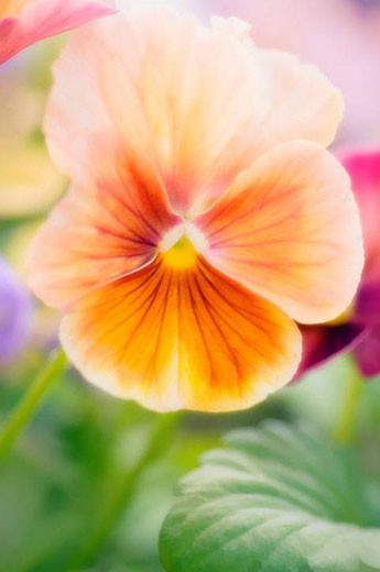 Peach Colored Pansy Bloom. Viola x wittrockiana. May 2007, Maryland, USA : Stock Photo