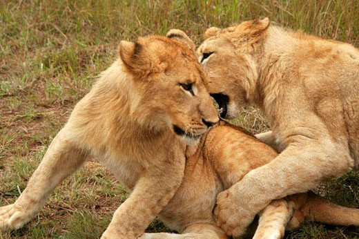 Stock Photo: 1436R-285639 Lions wrestling in Zimbabwe