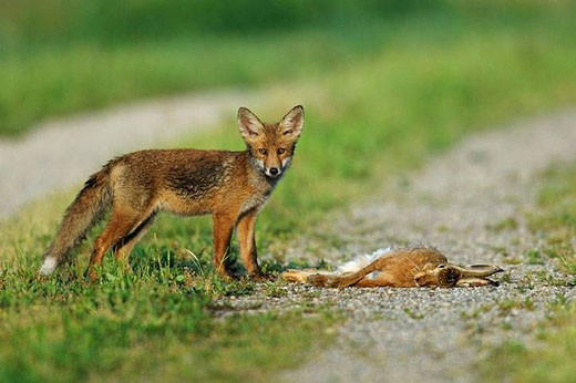 Red fox with dead brown hare, Vulpes vulpes, cub, Germany : Stock Photo