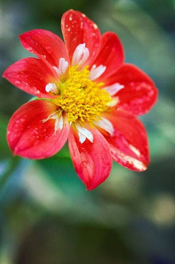 Red Dahlia Bloom. October 2007, Maryland, USA : Stock Photo
