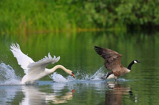 Mute swan attacked a Canadian goose, Germany : Stock Photo