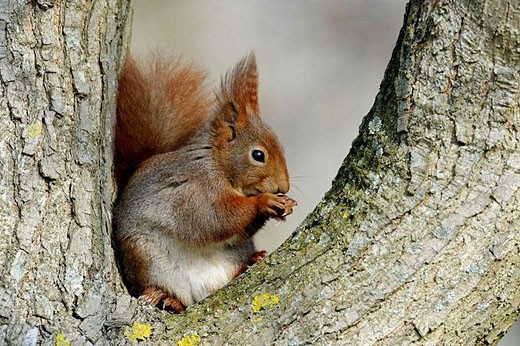 Stock Photo: 1436R-289128 Red squirrel on a tree, Sciurus vulgaris, Germany