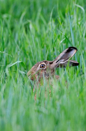 European brown hare in a grain field, Brown hare, Lepus europaeus, Germany : Stock Photo