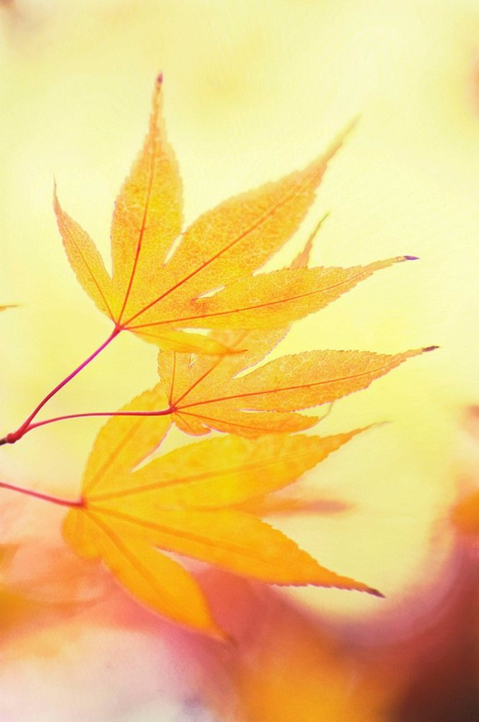 Yellow Japanese Maple Leaves. Acer palmatum. November 2007, Maryland, USA : Stock Photo