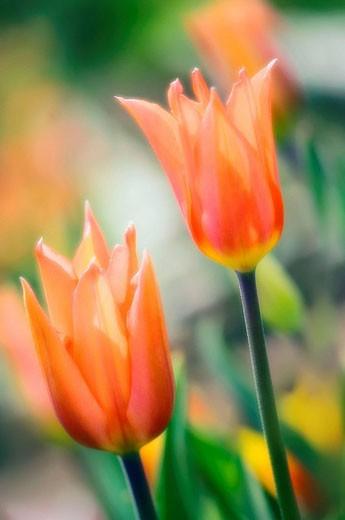 Two Tulips. Tulipa hybrid. April 2007, Maryland, USA : Stock Photo