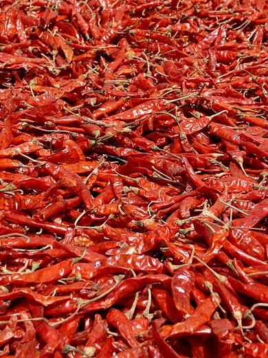 Capsicum annuum - Common Chili  Dry, red chilies are spread in sunlight for drying properly  After drying powder is made by grinding and used as a hot spice in Indian food  Pune, Maharashtra, India : Stock Photo