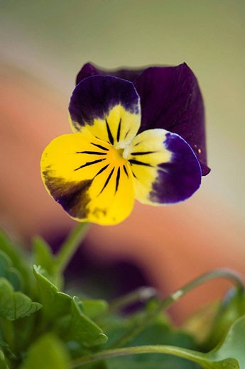 Pansy Flower. Viola x wittrockiana. April 2008. Maryland, USA. : Stock Photo