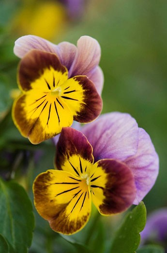 Two Pansy Flowers. Viola x wittrockiana. April 2008. Maryland, USA. : Stock Photo
