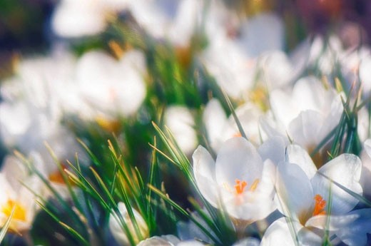 White Crocus Flowers. Crocus biflorus ´Purity´. March 2007. Maryland, USA. : Stock Photo