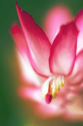 Christmas Cactus. Schlumbergera truncata. November 2007. Maryland, USA. : Stock Photo