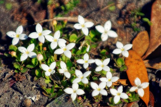 Houstonia pusilla. Southern Bluet. March 2008. South Carolina, USA. : Stock Photo
