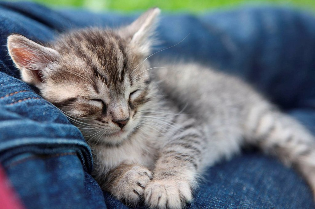 Stock Photo: 1436R-292330 Sleeping kitten, close-up