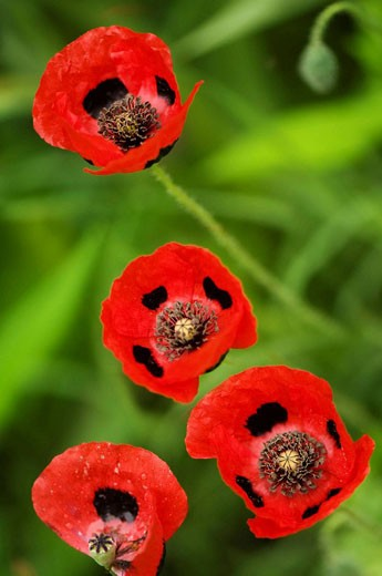 Stock Photo: 1436R-294837 Red Poppies. Papaver commutatum Lady Bird.