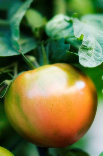 Red Tomato Growing on a Vine. Solanum lycopersicon. : Stock Photo