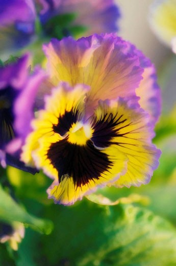 Stock Photo: 1436R-294992 Lavender and Yellow Pansy with Dark Center. Viola x wittrockiana