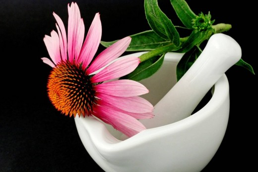 Stock Photo: 1436R-296873 Purple coneflower (Echinacea purpurea) and mortar