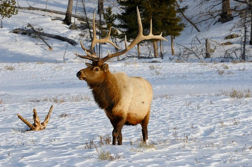 Mature male elk with antlers walking in snow at Blacktail Deer Plateau Yellowstone National Park : Stock Photo