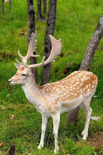 Fallow Deer buck with growing antlers in an open forest at a Quebec nature preserve : Stock Photo