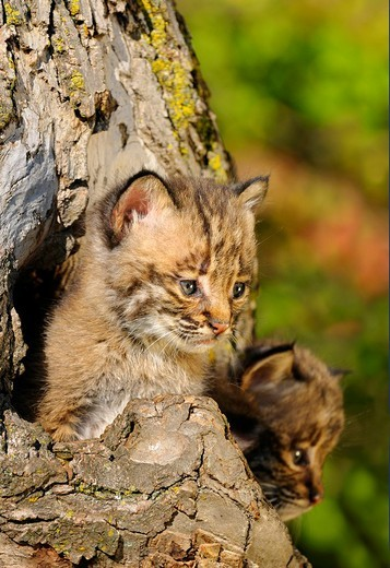 Two Bobcat kittens peeking out from the hollow of a tree in Autumn : Stock Photo