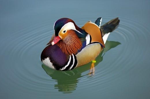 Male Mandarin Duck, Aix galericulata : Stock Photo