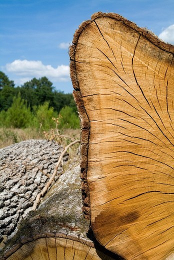 Close up of a wooden log, France Aquitaine Mano Landes Forest : Stock Photo