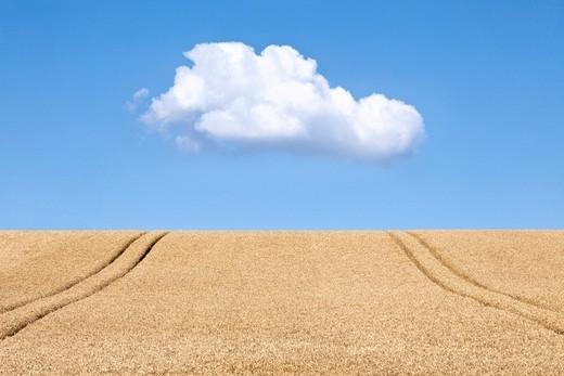 Stock Photo: 1436R-303122 a field of wheat